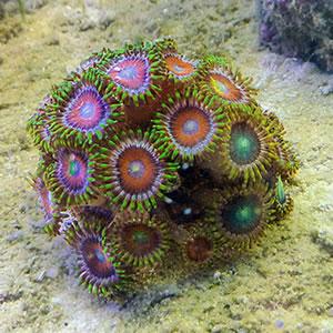 Petoskey stone coral