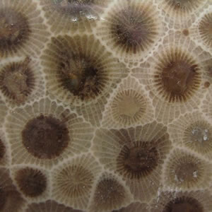 Polished petoskey stone up close